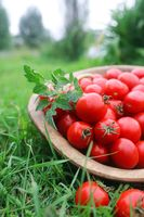 Fresh tomato crop in a wooden bowl