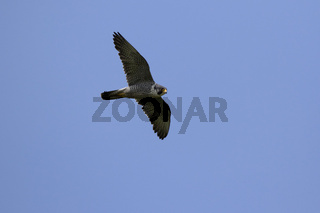 Female peregrine Falcon flying against the background of the summer blue sky