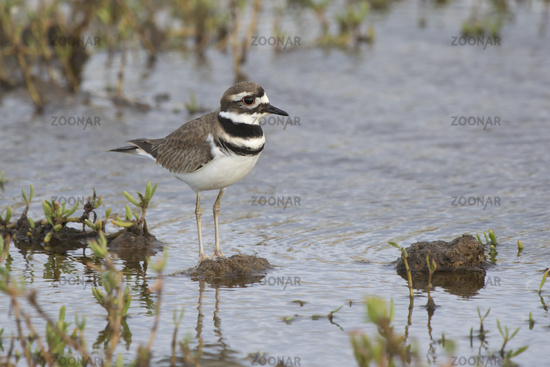killdeer who stands in the shallow waters of a small lake in the dry season