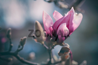 pink magnolia blossom with bud in early spring