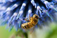 Bee on a blue flower