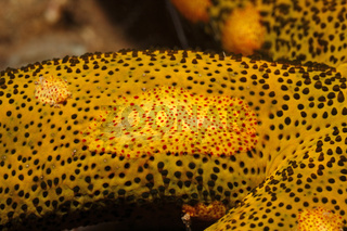 Platyctenid Ctenophore, or Creeping Comb Jelly, Coeloplana astericola