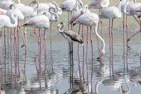 Juvenile Greater Flamingos in a the wetlands of Dubai, UAE