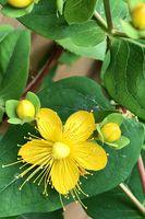 Filigree little yellow blossom