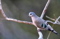 Emerald-spotted Wood Dove, Liwonde National Park, Malawi, (Turtur chalcospilos)