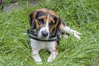 Beagle auf der Wiese