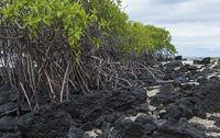 Rote Mangrove (Rhizophora mangle)