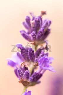 Close up ear of lavender purple aromatic flowers at lavender field in summer