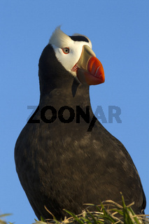 Portrait of a Tufted puffin that sits on a hummock with its head turned in the rays of the setting sun