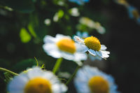 chamomile wildflowers. white wildflowers. flower petals. White flower petals