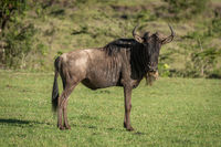 Blue wildebeest stands eyeing camera on grass