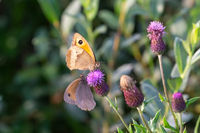 Meadow brown (Maniola jurtina)