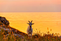 Front view of the goat standing on rocks
