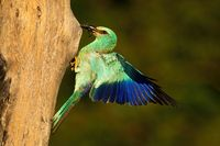 European roller holding frog in beak and landing on nest to feed young.