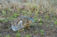 Black naped hare, Tadoba National Park, Chandrapur district, Maharashtra, India.