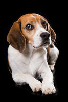 Adult beagle dog lying on black background