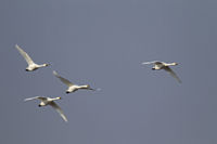 Bewicks Swans in flight / Cygnus bewickii