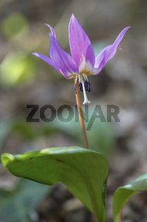 Hundszahn-Lilie (Erythronium dens-canis)