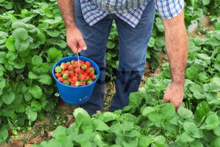 Farmer holding blue bucket in a strawberry field