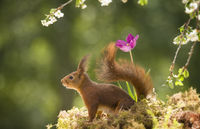 red squirrel is looking away with a tulip