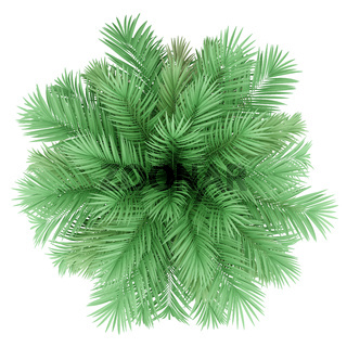 butia palm tree isolated on white background. top view