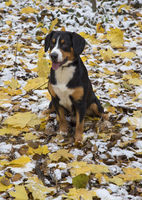 dog in an autumn forest sits on yellow leaves covered with first snow