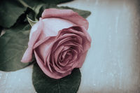 Luxurious pink rose with leaves on a light background .