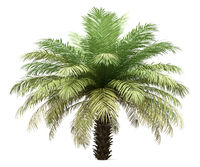 date palm tree isolated on white background