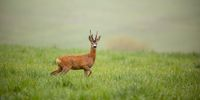 Panoramic wide composition with roe deer, capreolus capreolus, buck in summer.