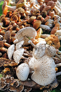 Several different wild mushrooms arranged edible mushrooms