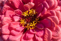 Macro photo of pink zinnia flower petals. Bright natural background. Top view