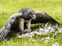 Chilean Eagle Buzzard