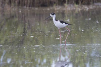 black-necked stilt that walks through the shallow water of a small lagoon in the mangroves