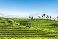 beautiful tea plantation landscape