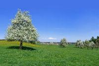 Flowering fruit trees in a  large meadow