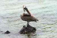 Brown Pelican (Pelicanus Occidentalis urinator),  Isabela Island, Galapagos Islands, Ecuador