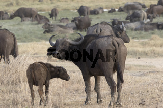 Female and calf African Buffalo that stand in the savanna against the backdrop of a large herd