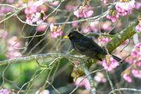 Blackbird sitting in a flowering cherry tree