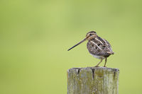 Common Snipe, Gallinago gallinago, Bekassine