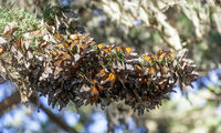 Cluster of Monarch Butterflies keeping warm during winter migration.
