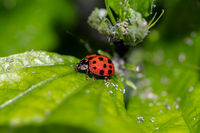 little beetle with black points