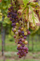 Grape on the vine