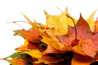 Heap of autumn maple leaves