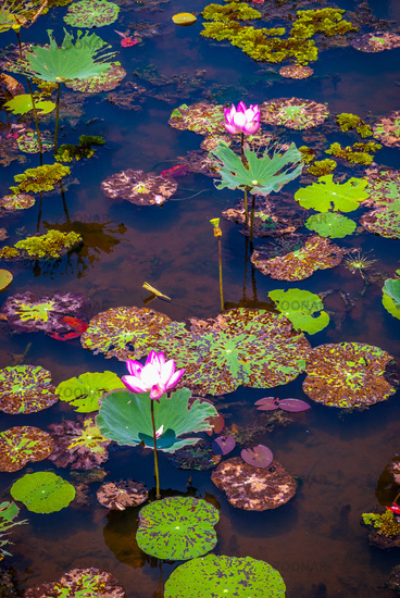 Lotus flowers blooming on Songkhla lake