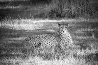 Cheetah in a grass, South Africa