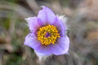 Pulsatilla grandis Blooming on spring meadow