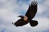 flying Pied Crow Ethiopia Africa safari wildlife
