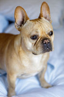Frenchie sitting on the bed.
