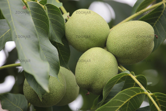 real walnut