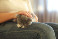 Cute grey and white kitten sitting on the knees of the woman